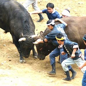 牛の角突き(おぢや) @ 小千谷闘牛場 | 小千谷市 | 新潟県 | 日本
