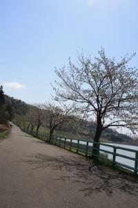 千本桜の並木道(4/25)