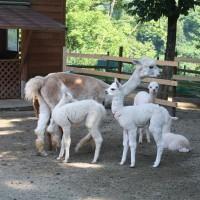 アルパカの赤ちゃんたちとお母さん