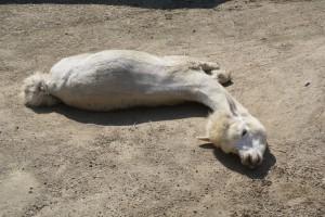 暑さにのびている大人アルパカ
