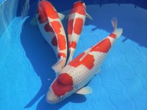 錦鯉(紅白)