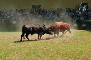 牛の角突き(山古志) @ 山古志闘牛場 | 長岡市 | 新潟県 | 日本