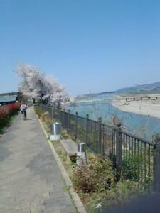 4月・桜の花咲く川沿いの道