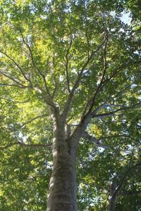 171005-1414ブナの木