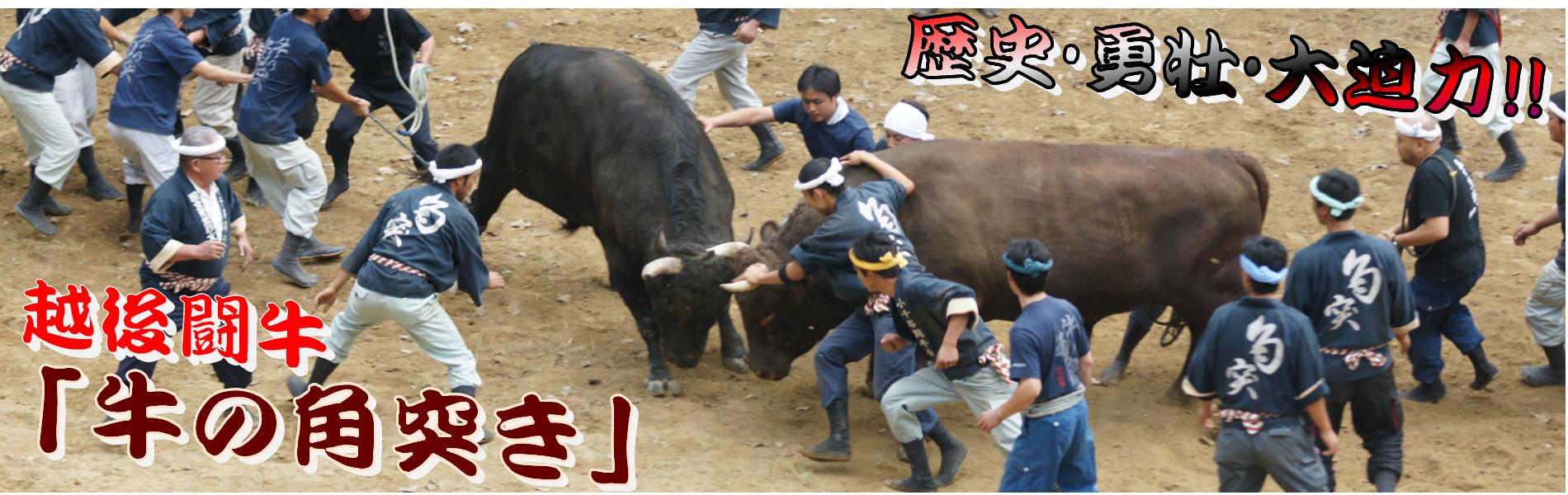 勇壮!! 越後闘牛『牛の角突き』 5月~11月!